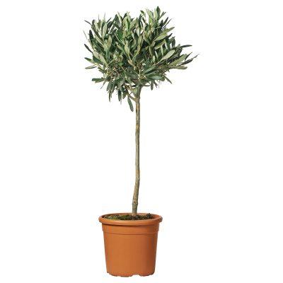 Oliventræ danmark