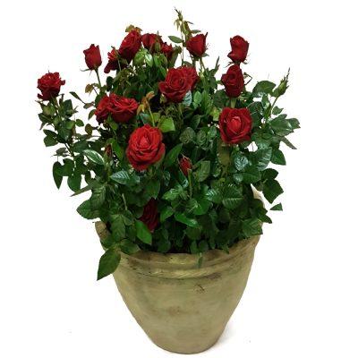 Krukke med røde roser