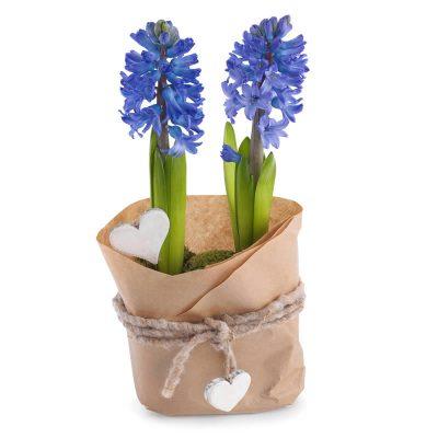 Hyacinter i papir
