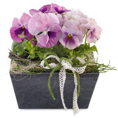 Sammenplantning med skønne violer