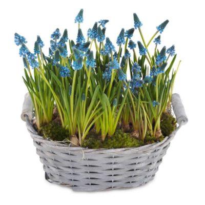 Smukke perlehyacinter til at bringe foråret indenfor. plantet i kurv og pyntet med moss
